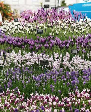 唯美 薰衣草/紫色唯美薰衣草图片共同打造梦幻薰衣草花园