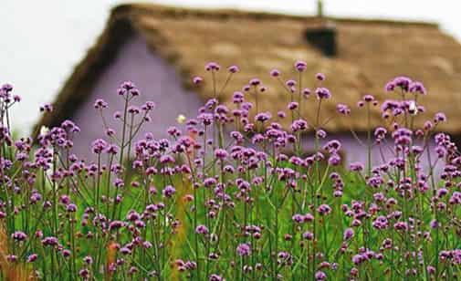 紫色唯美薰衣草图片 共同打造梦幻薰衣草花园