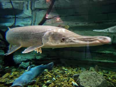 名列世界十大凶猛淡水鱼