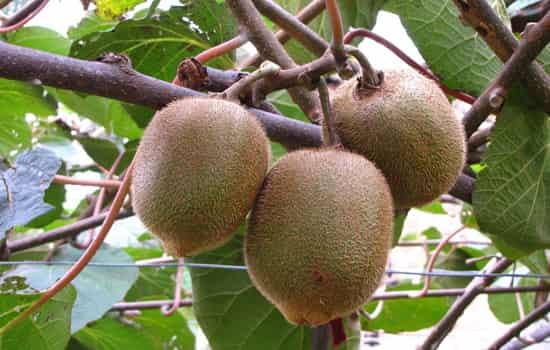 每天吃猕猴桃不仅可以保持健康也可以远离脂肪肝等疾病