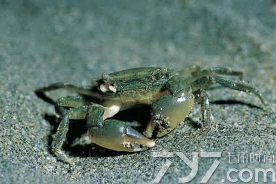 螃蟹怎么分公母,螃蟹公母怎么分,螃蟹公母分辨图片图片