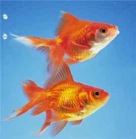 吃鱼有什么好处 老人常说多吃鱼会变聪明噢