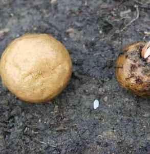 吃魔芋中毒怎么办 魔芋切不可直接生食