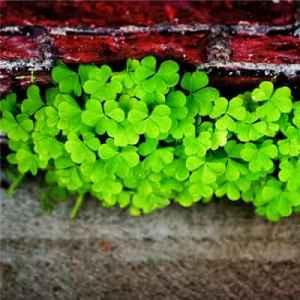 四叶草的花语是什么 四叶草的寓意和传说