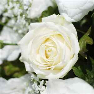 什么花的花语是纯洁 百合樱花都敌不过雏菊