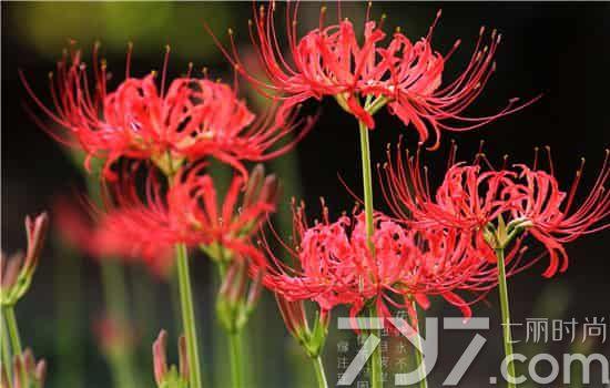 彼岸花的花语是什么 曼陀罗华和曼珠沙华的区别