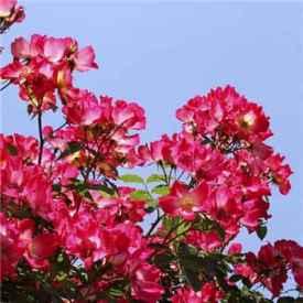 月季花的花语是什么 不同颜色月季代表的意义