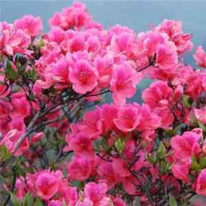 茶花的花语是什么 谦逊忍让有魅力