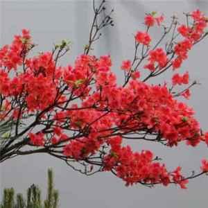 杜鹃花的花语是什么 花中西施代表什么含义