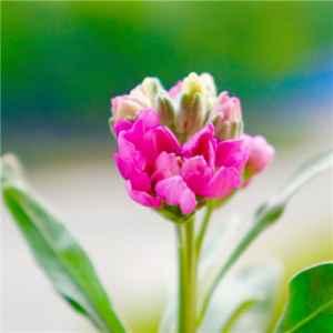 紫罗兰的花语是什么 象征永恒的美与爱