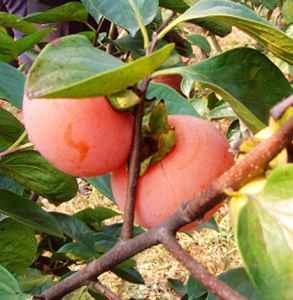 柿子什么时候成熟 10月正是吃柿子时