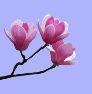 木兰花的花语是什么  紫玉兰辛夷花都是木兰花