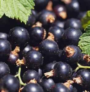 蓝莓和黑加仑的区别 别再傻傻分不清