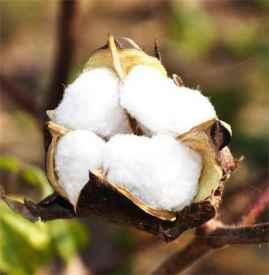 有机彩棉和纯棉哪个好 它们的区别在哪