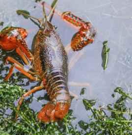 小龙虾很脏吗 臭水沟的小龙虾是流不到市面的