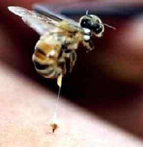 蜜蜂蜇人后为什么会死去 蜜蜂蜇人比我们更疼