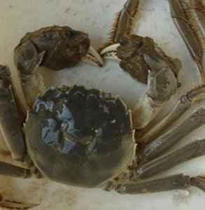 河蟹和大闸蟹的区别 大闸蟹就是河蟹哦