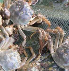 大闸蟹为什么要脱壳