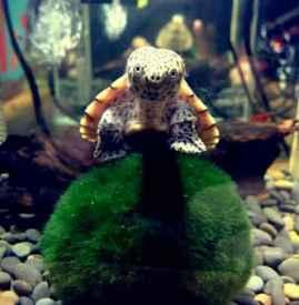 属什么的人不能养龟 养龟风水之十二生肖养龟必知