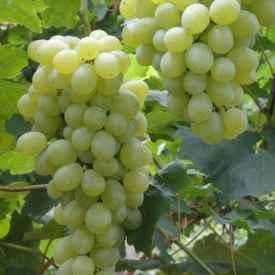 怎样吃葡萄减肥 3种葡萄减肥方法分享给大家