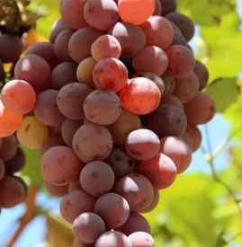 秋天吃葡萄的好处 葡萄颜色不同功效不同