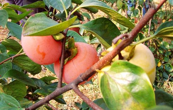 冻柿子孕妇能吃吗 孕妇最好忌食