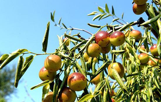 沾化冬枣的营养价值