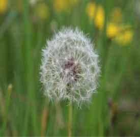 蒲公英的功效与作用 秋天最好的排毒草