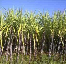 甘蔗的功效与作用 甘蔗的花样吃法推荐