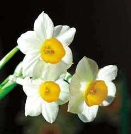 水仙花花语是什么 水仙花各种花语及传说故事