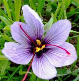 藏红花祛斑有效果吗 女性服用可美容养颜