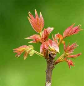 香椿芽不能和什么同食 吃香椿芽的注意事项