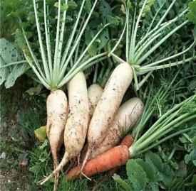 白萝卜的药用价值 常吃白萝卜预防疾病好