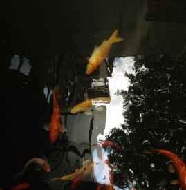 风水鱼死了怎么处理 千万要避免食用风水鱼