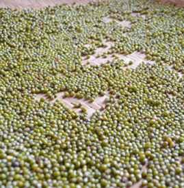 绿豆长虫了怎么处理 绿豆长虫了还能吃吗