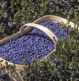蓝莓的功效与作用禁忌 浆果之王蓝莓的13大益处