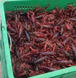 小龙虾怎么运输不会死 如何提高小龙虾长途运输成活率