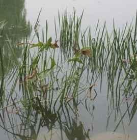 养小龙虾种什么水草 养小龙虾为何要种水草