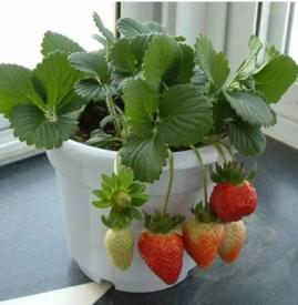 自己在家怎么种草莓 只需五步即可搞定