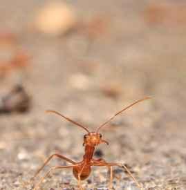 梦到蚂蚁是什么意思 不同梦境吉凶不一