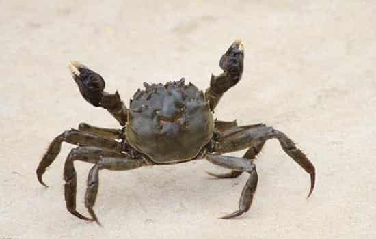 螃蟹为什么横着走不能前后走?