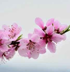催旺桃花的植物 水種植物招桃花最好