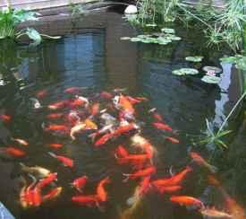 院子里养几条鱼好