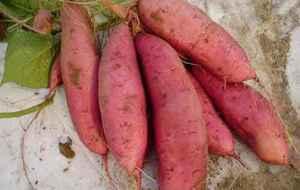 烤红薯长的好吃还是圆的好吃 长条状的更甜且营养价值高