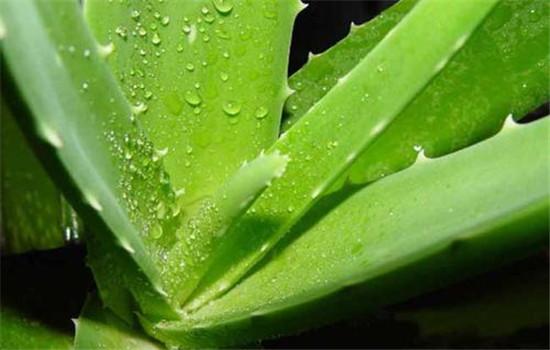 芦荟面膜几天敷一次 芦荟面膜正确使用方法