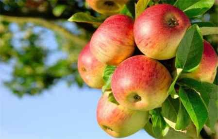 秋季减肥吃什么水果 四种水果最适合减肥(图1)