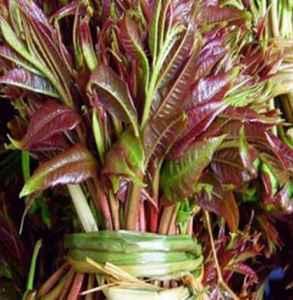 香椿芽和臭椿芽的区别 怎么辨别香椿和臭椿