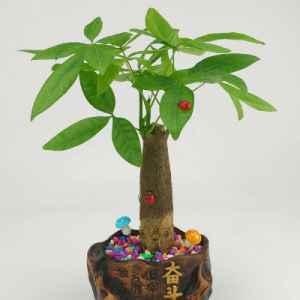 发财树摆放禁忌 发财树风水作用有哪些