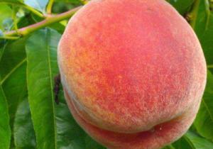 榴莲为什么会发苦 ?榴莲和桃子可以一起吃吗