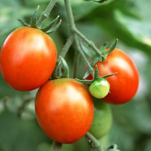 西红柿可以去斑吗 做法是怎样的
